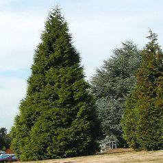 Conif re un arbre naturel stabilis sans entretien sans for Arbre sans entretien