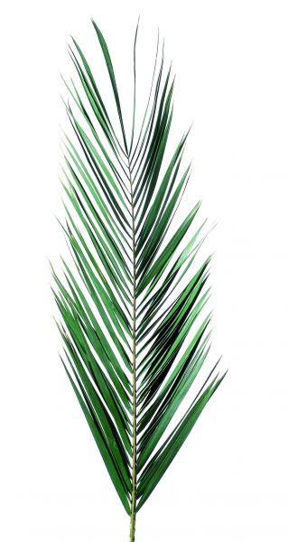 Palmes et feuilles de palmier, plantes naturelles