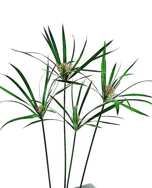Papyrus une fleur naturelle stabilis e d corative sans entretien sans eau - Plante sans lumiere naturelle ...