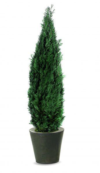 Columnaris, une plante naturelle stabilisée, san