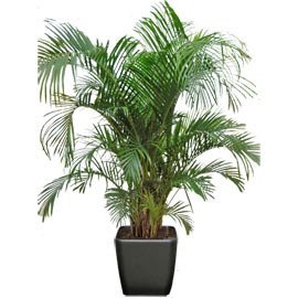 areca plante naturelle stabilis e sans entretien sans eau sans terre sans lumi re. Black Bedroom Furniture Sets. Home Design Ideas