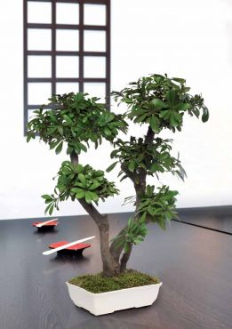 Juniperus arbre feuillus naturel stabilis sans entretien for Arbre sans entretien