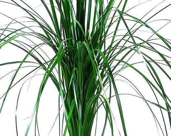bear grass plante naturelle stabilis e sans entretien sans eau sans terre sans lumi re. Black Bedroom Furniture Sets. Home Design Ideas